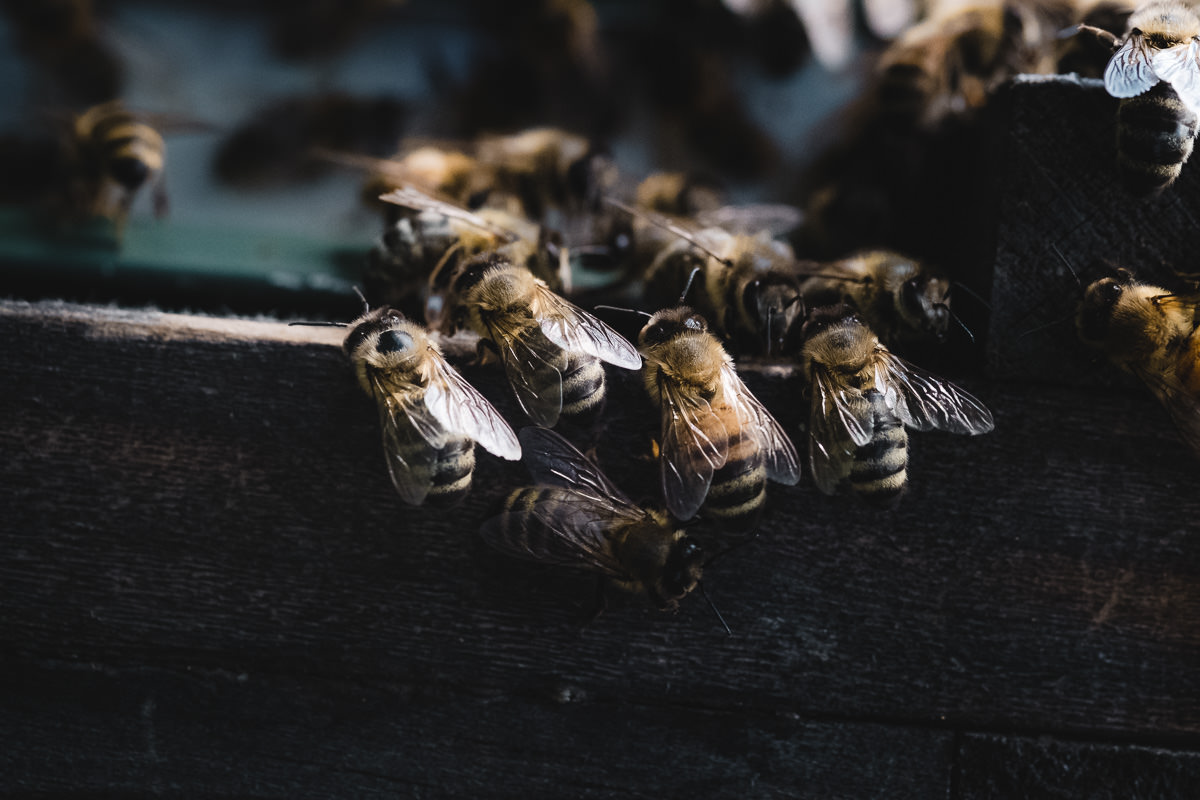 During an early afternoon rush hour, some worker bees pause on the lip of the hive box's bottom board, where the bees enter and exit the hive. They might be guarding against predators (including bees from other hives), helping to clean up by hauling dead bees out, or channeling air into the hive to help evaporate water from the honey so it reaches the proper thickness.