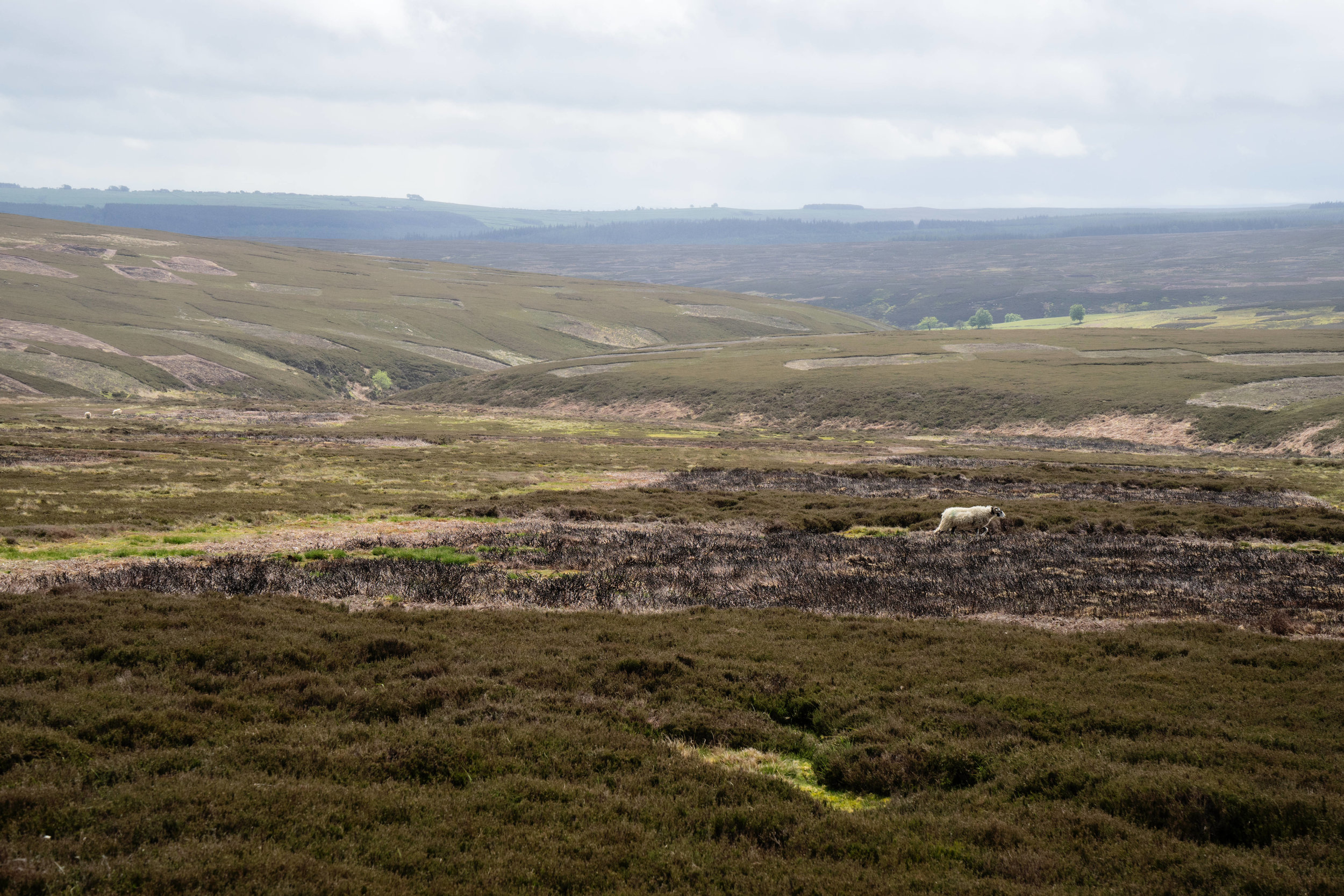Burnt Moorland - Grouse management