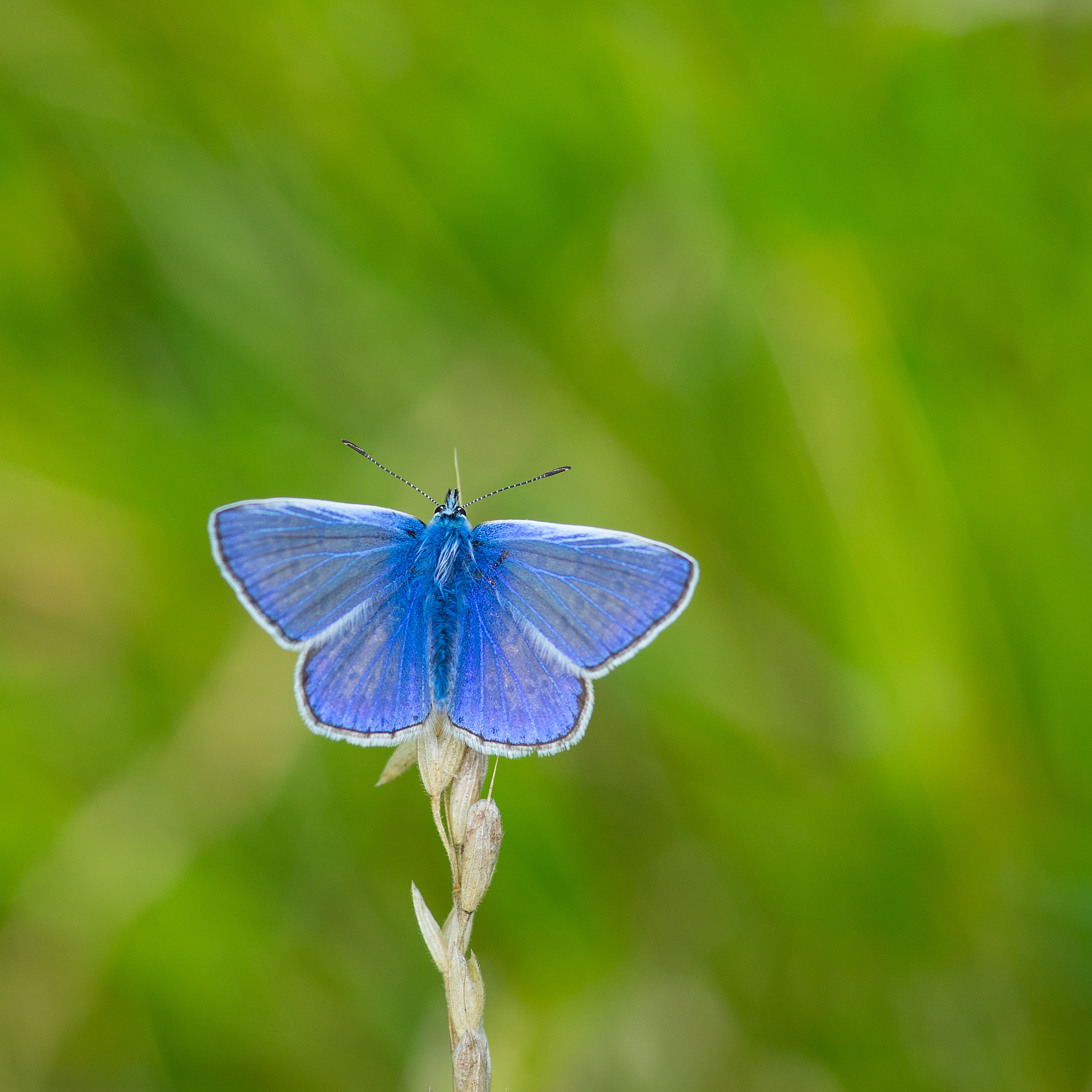 A hastily taken image of a Common Blue butterfly taken during a quiet moment on one of my Macro Photography Workshops.