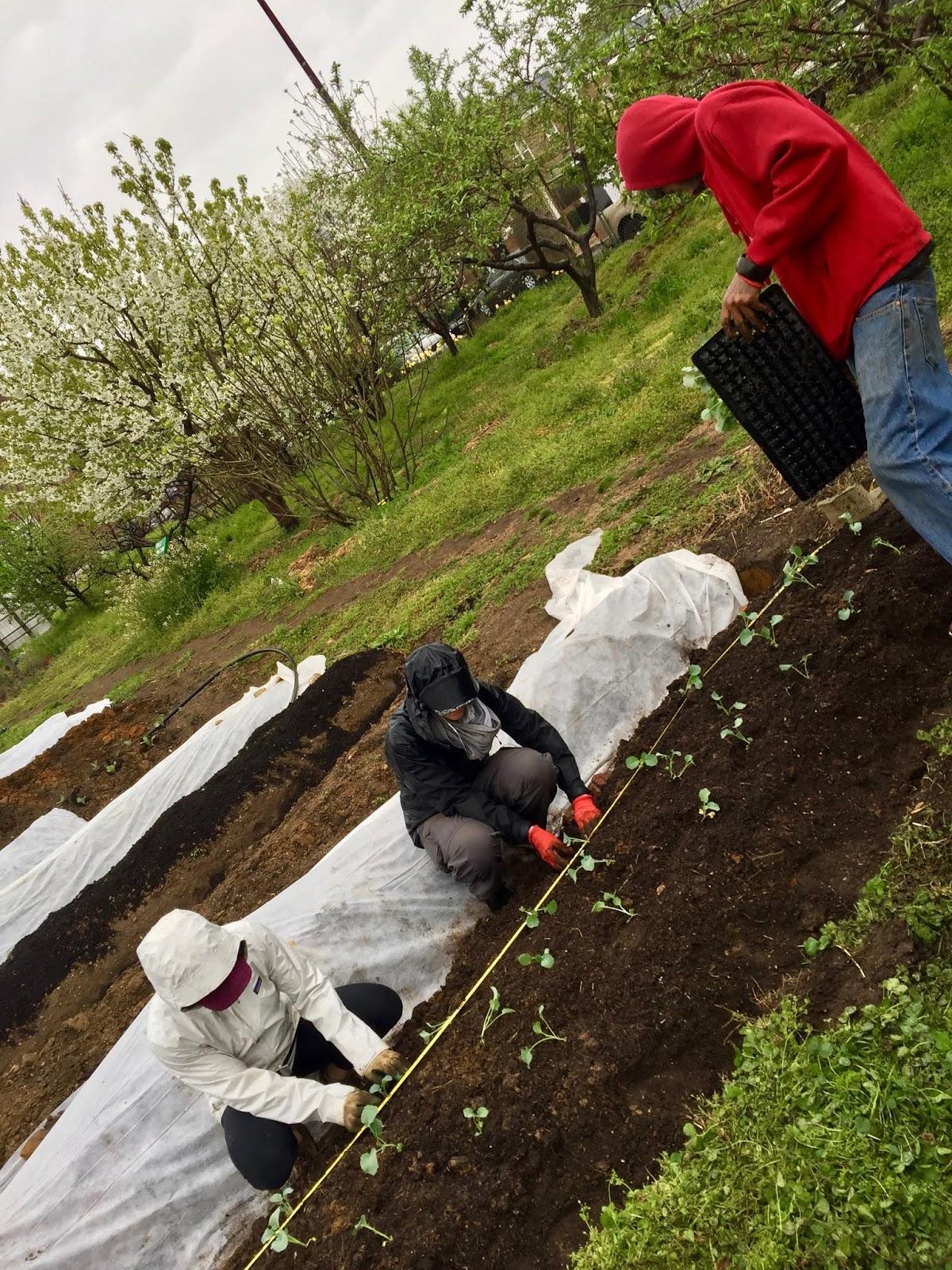 Planting broccoli