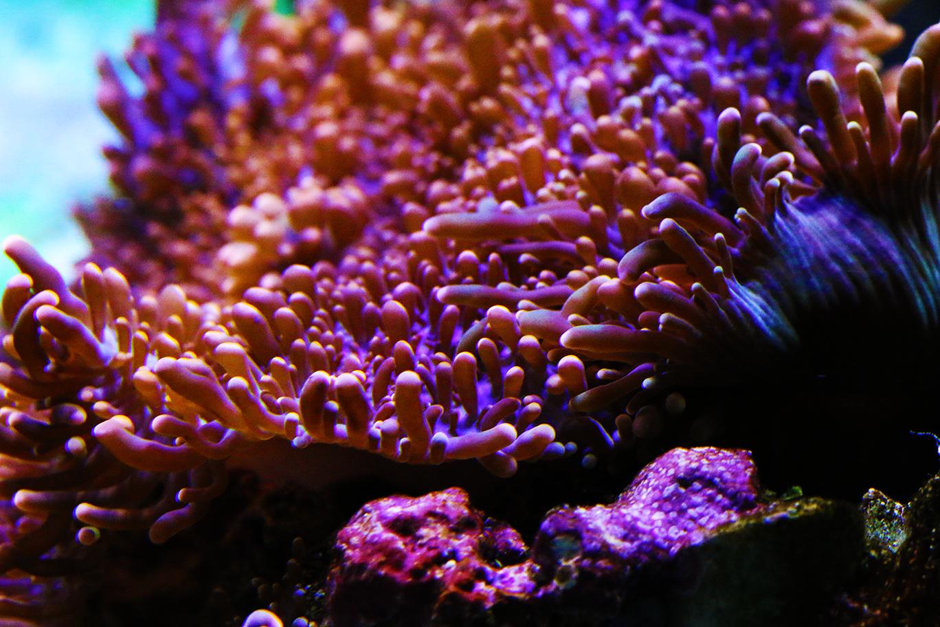 Ricordea Mushroom
