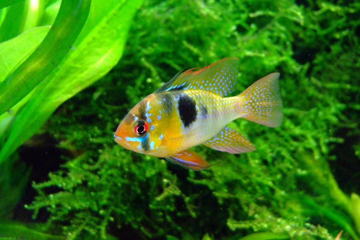 German Blue Ram Cichlid
