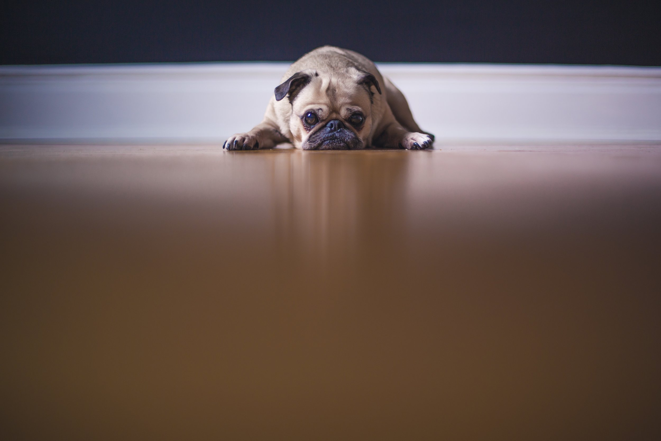 Un chien est couché sur sol, prêt à bondir.