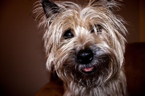 Cairn Terrier 2.jpg