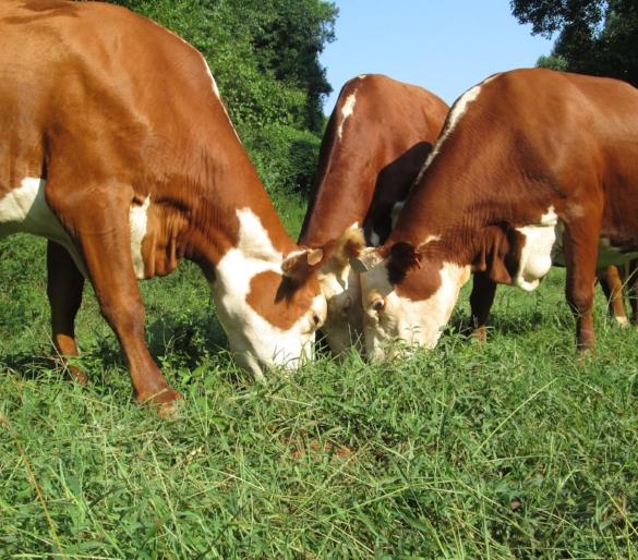 rcr cattle.JPG
