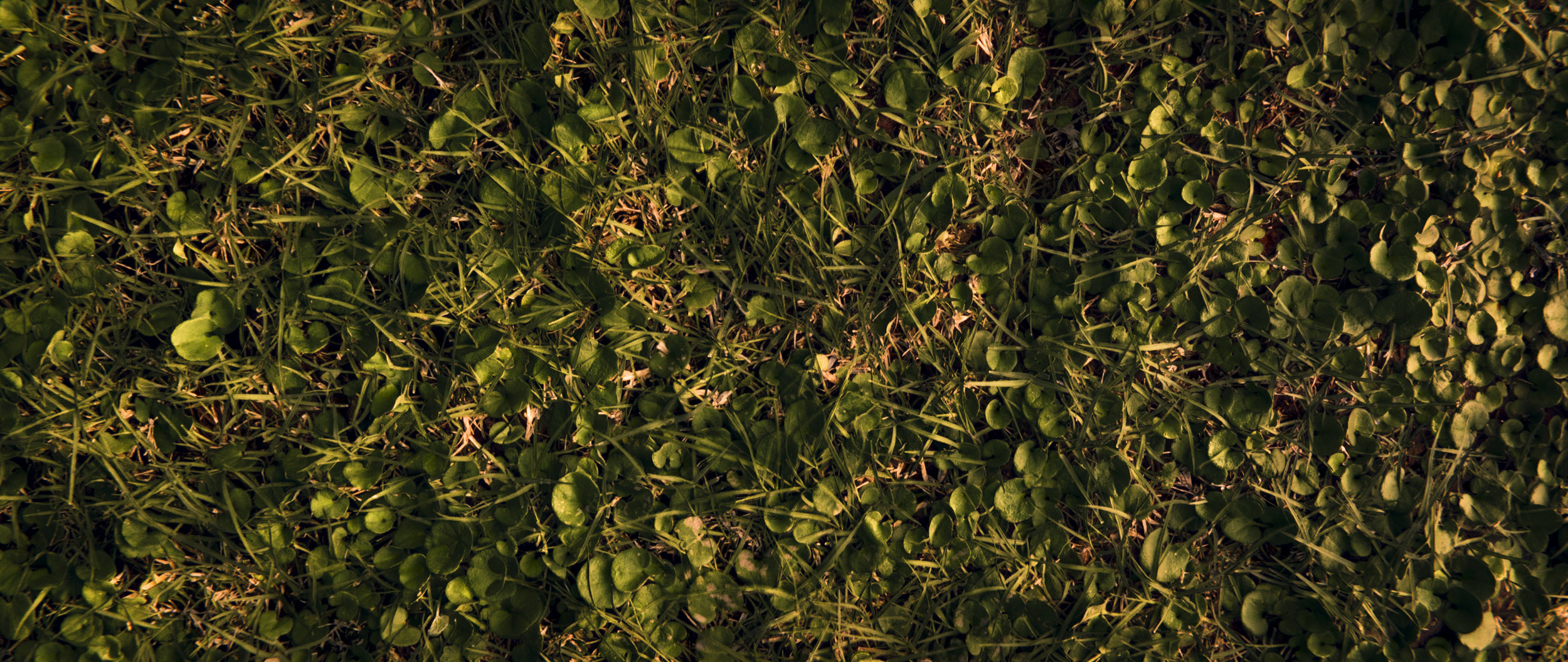 Grass with clovers at sunrise