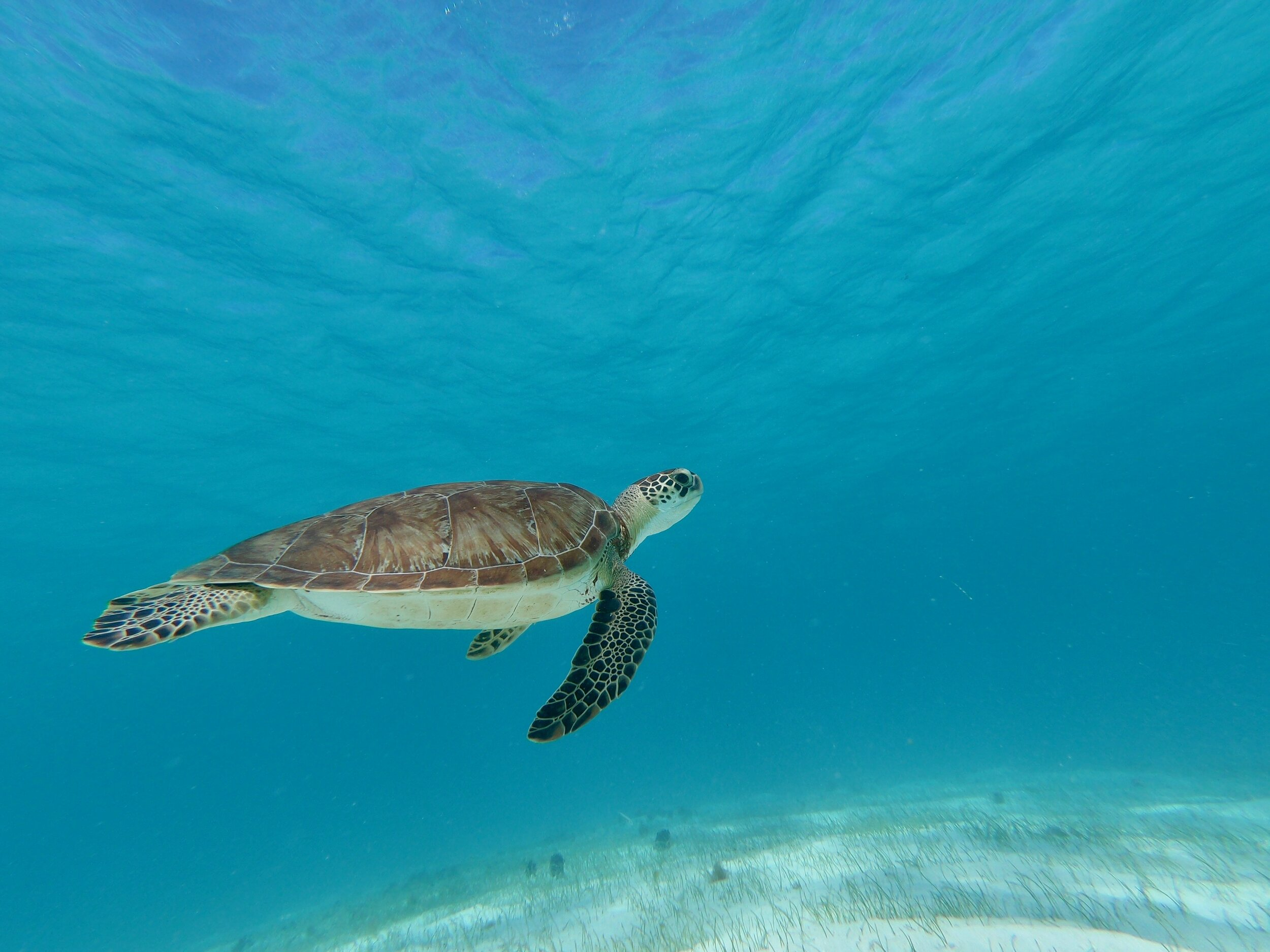 tobago cays turtle