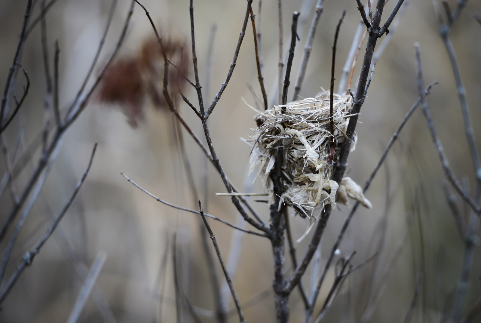 A nest hidden among the reeds in a marsh. When I captured this image, I noticed the items the bird used to construct its nest with.