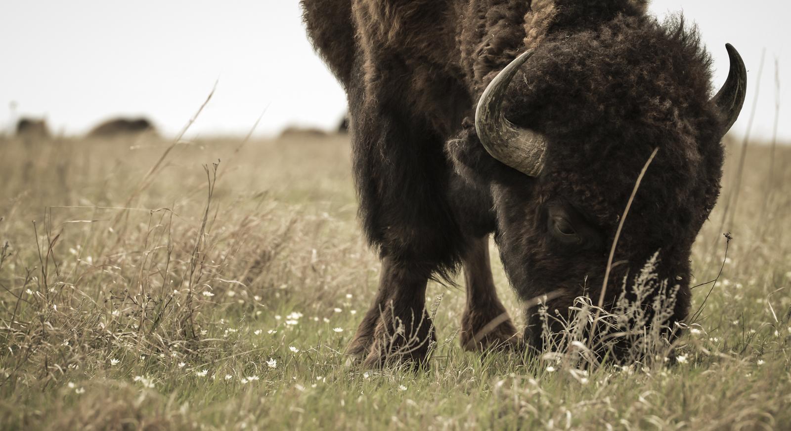 Bison, Tallgrass Prairie Preserve, Pawhuska, OK