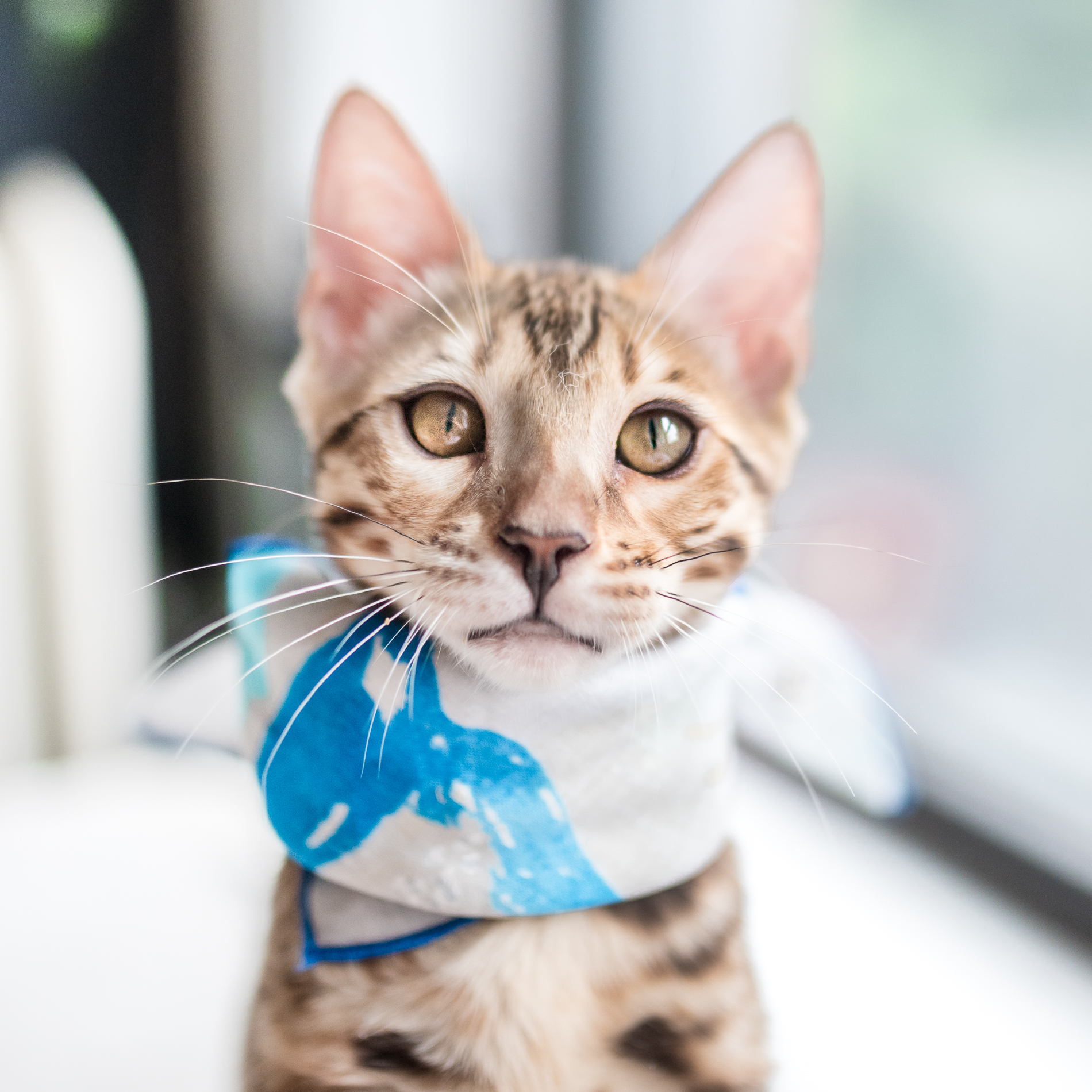 Orion - Ori is a Bengal and the youngest one in the family. He is a bundle of energy and loves playing with his big brother Leo. He is also affectionately known as the hungry, hungry hippo for his food and treat stealing tendencies.