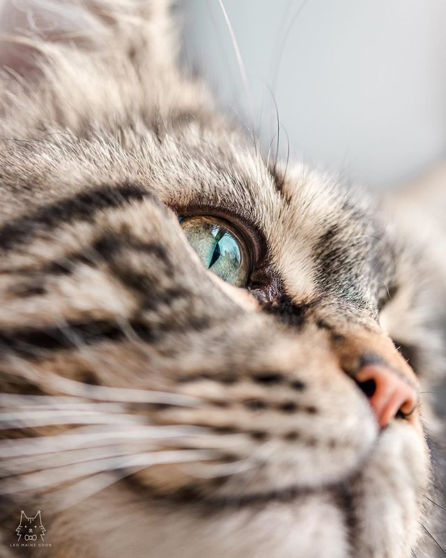 beauty closeup ✨ - leo has such pretty eyes! 😍 they're green and aqua in the middle with a ring of gold on the edges. but let's be real...all cat eyes are beautiful 🤩♥️