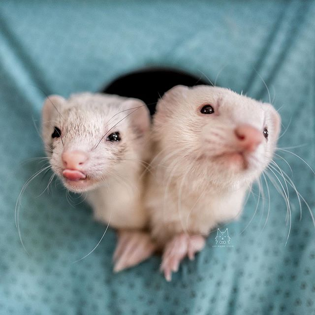 hooray for the weekend! 😋 - some of you may not know, but we have ferrets too! this is pixie (left) and chubby (right). pixie is 6 years old, and chubby is 5.5 years old 🥰