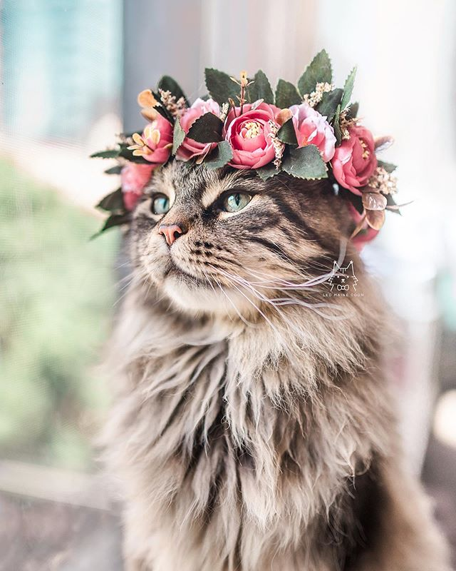flower king leo, first of his name 🌸👑 - i know i say this all the time, but i swear leo just continuously gets fluffier and softer! he is looking fabulous thanks to @darwinspetfood ♥️ if you're new to raw, it has many benefits: 1. soft, shiny coat with less mattes for long-haired cats 2. small, odorless poops ✨ 3. more energy to play 4. cleaner teeth thanks to eating bone also, i swear leo has gotten cuddlier since we switched to raw 😂 i think now that we have established meal times, he knows i'm the one giving him the goods. if you want to give raw a try, you can get 10lbs of @darwinspetfood for only $14.95. click the link in our bio and click TRIAL at the top to check it out! US only though, sorry international folks ♥️