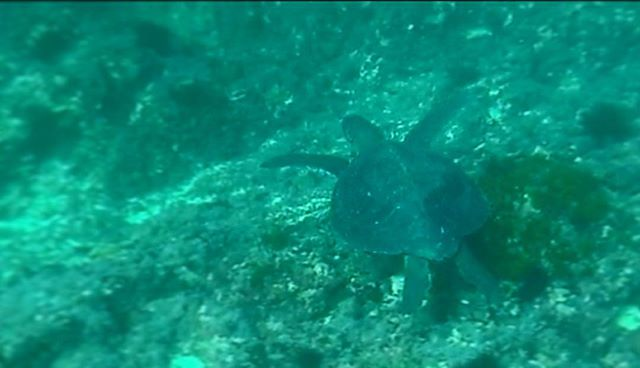 Who needs the tropics when you can swim with a turtle in the Hauraki gulf (in winter) !!!! 🐢