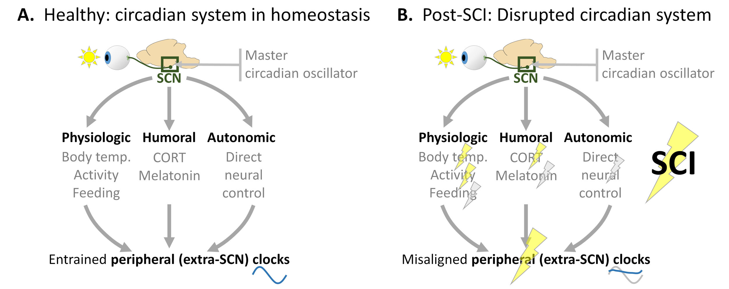 We revealed recently that spinal cord injury disrupts the circadian system. Please see our studies published in   eNeuro   and in   J. Neurotrauma  .