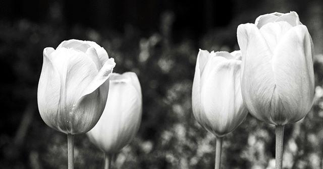 Tulipa. . . . 📸 Olympus OM-D E-M10 Mark II // Olympus M.Zuiko Digital ED 60mm F2.8 Macro