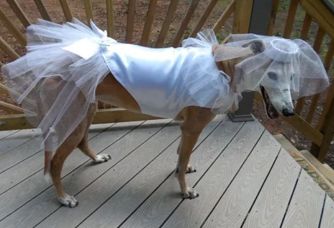 The beautiful bride, getting married on Halloween! So wonderful, I hope the ceremony was as beautiful as this doggo 💘