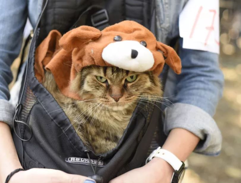 This cat looks ecstatic to be a dog on Halloween. Well done, cat-owner, very meta. Well done.