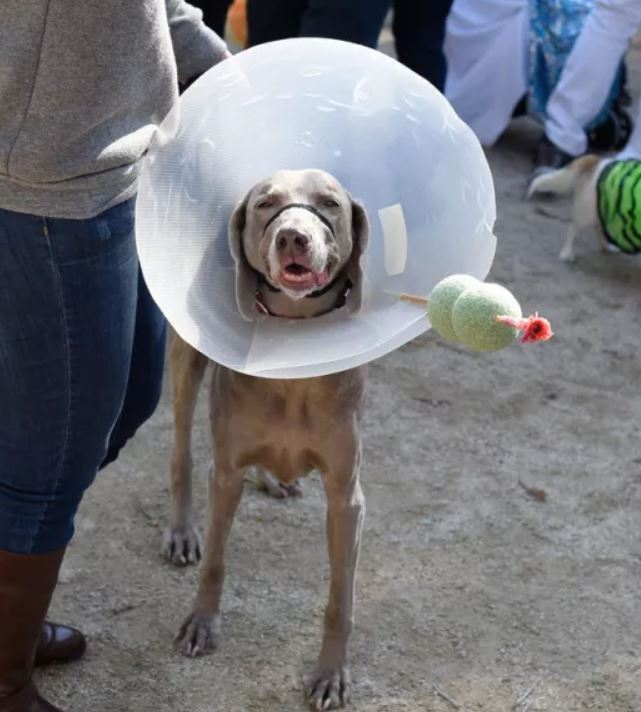 This drunk martini dog is rocking his cone of shame proudly. What a guy.