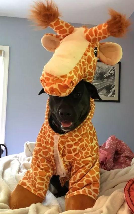 Cute doggo grew 27 feet and became a giraffedoggo.