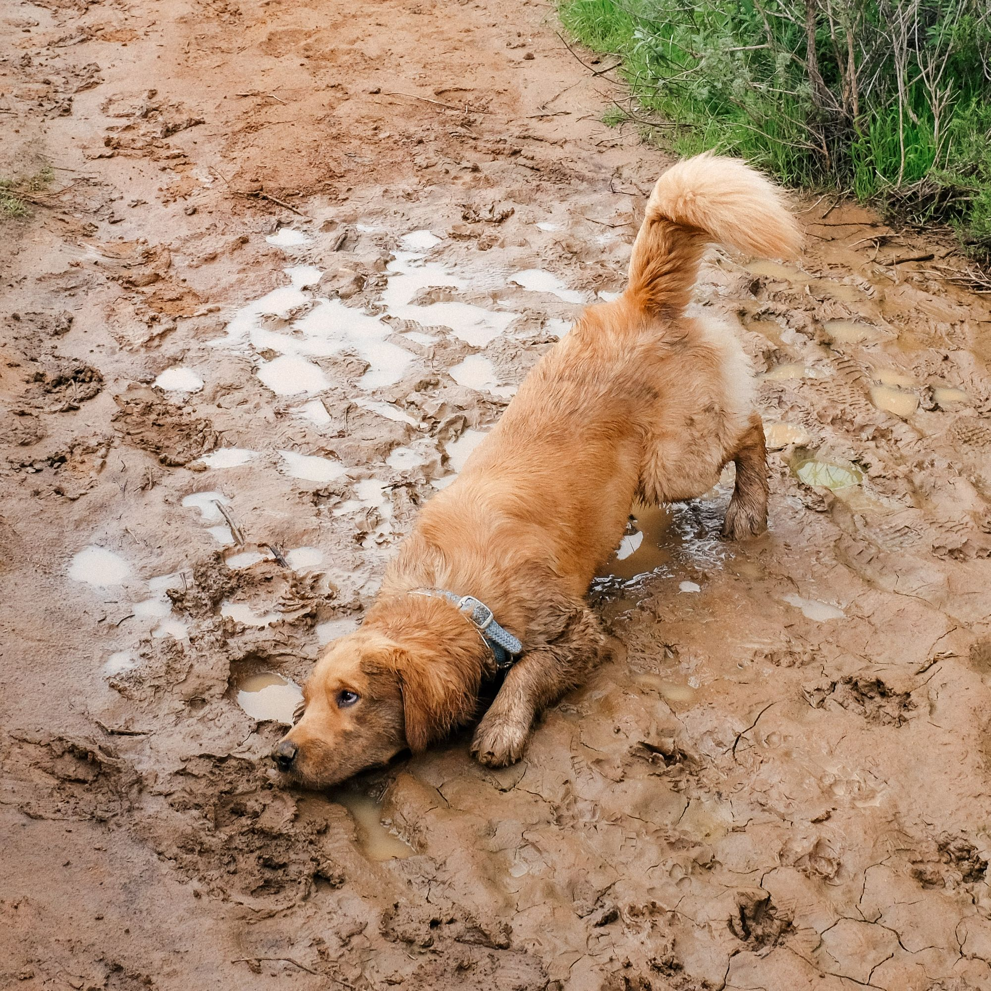 muddy dog wags to wiskers.jpg