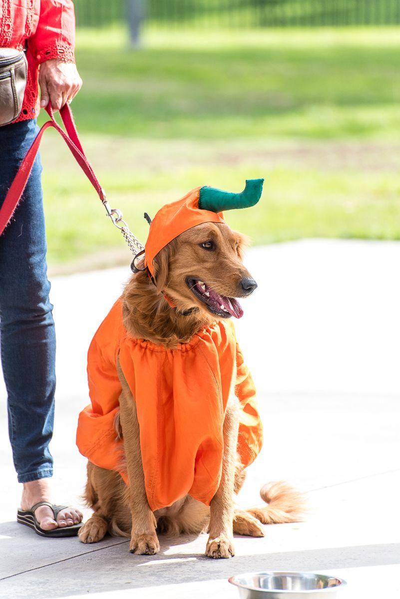 pumpkin dog costume.jpg