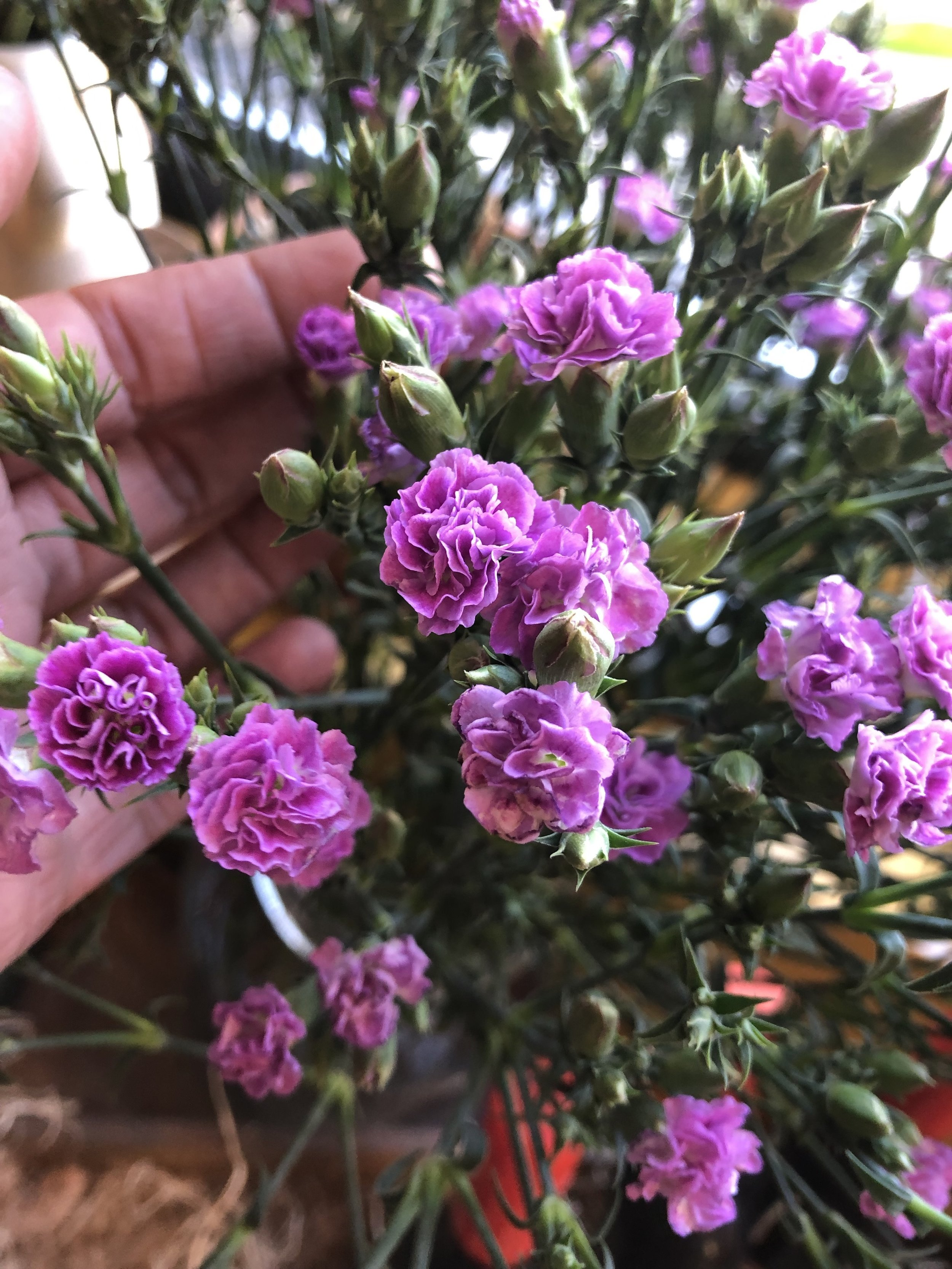 Mini-carnations