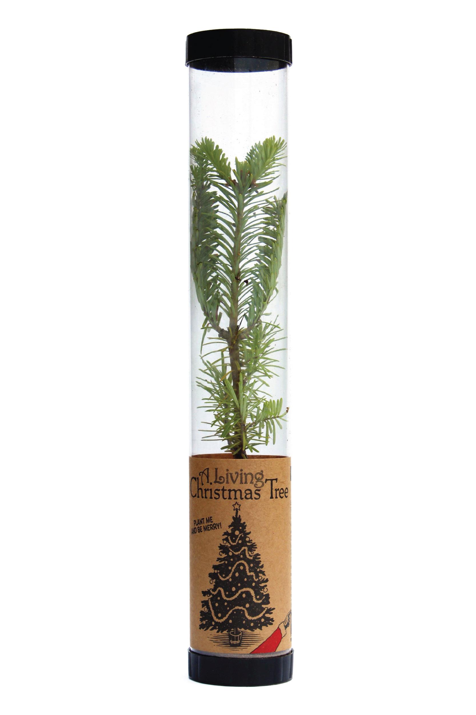 Living Christmas Tree | Balsam Fir | Packaged Live Tree