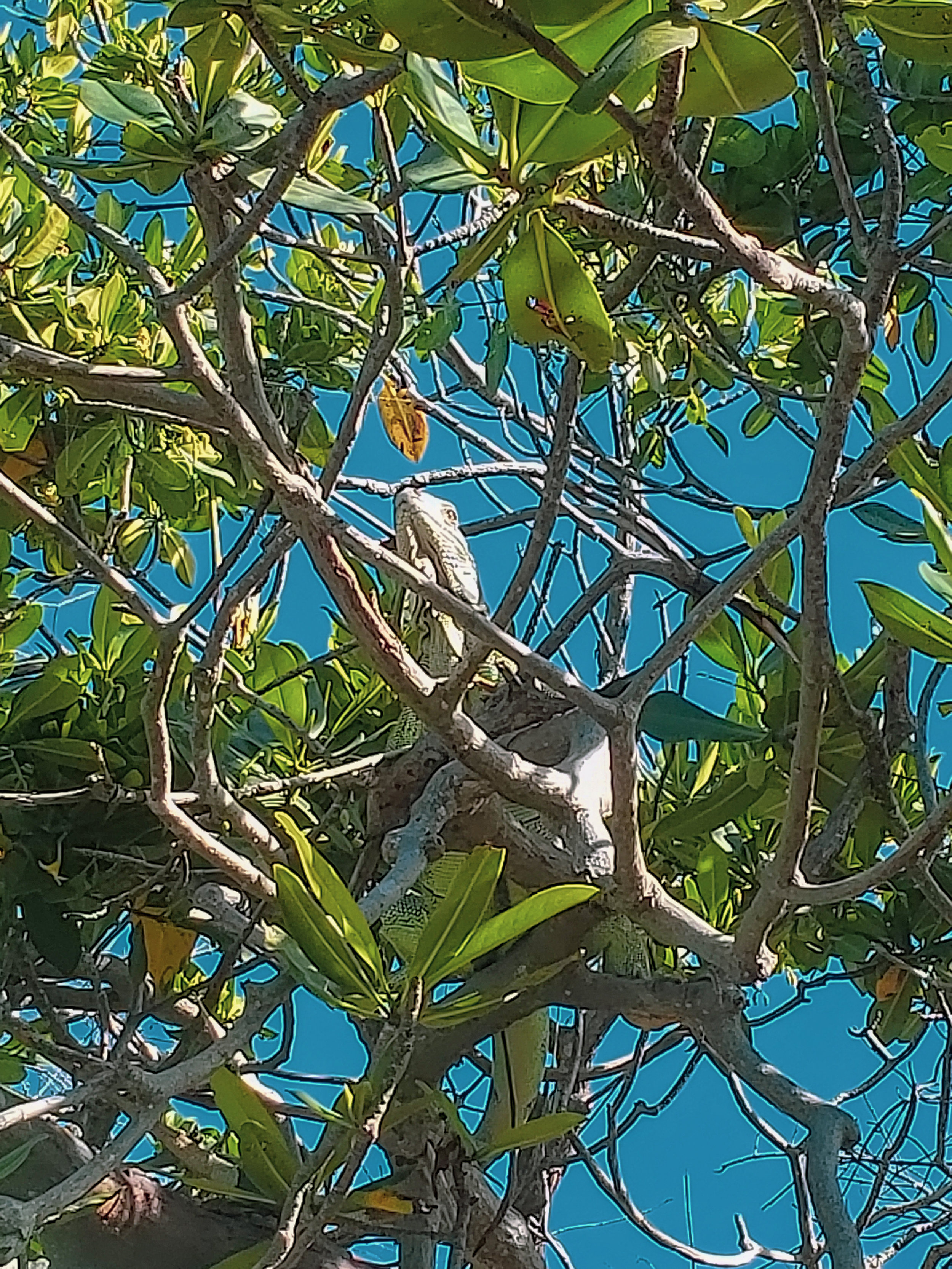 Iguana - Esta es la iguana del video anterior. Este lugar se caracteriza porque hay muchas de ellas