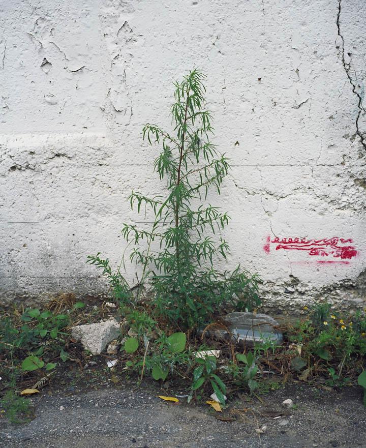weed_3.jpg