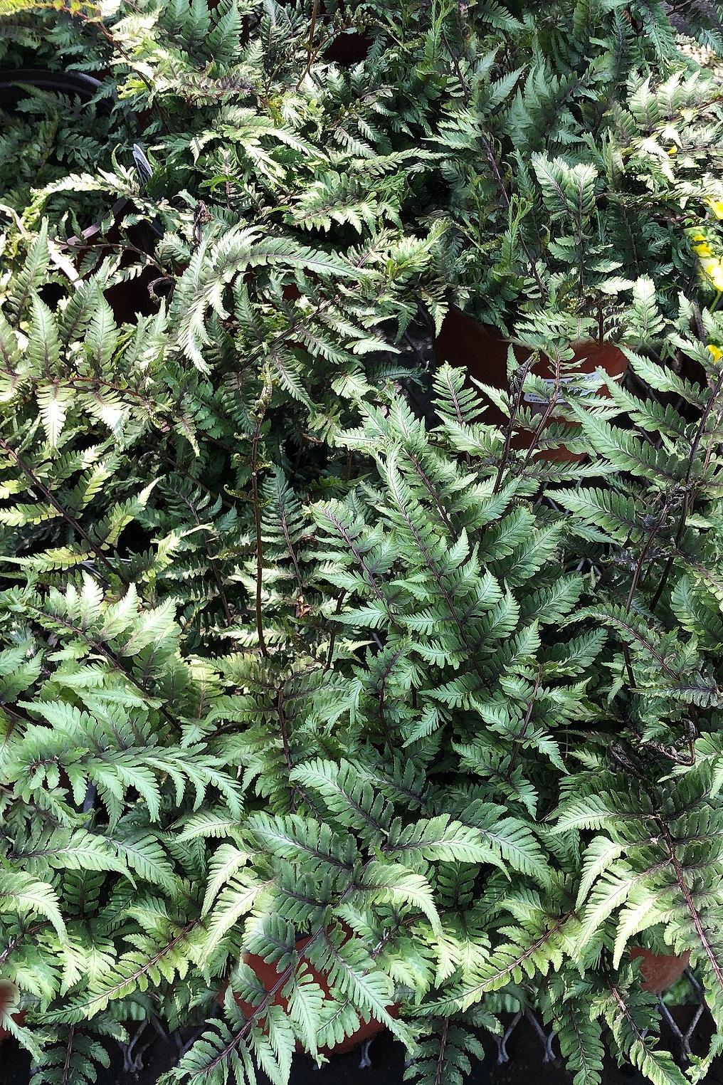 Athyrium niponicum var. pictum 'Applecourt'