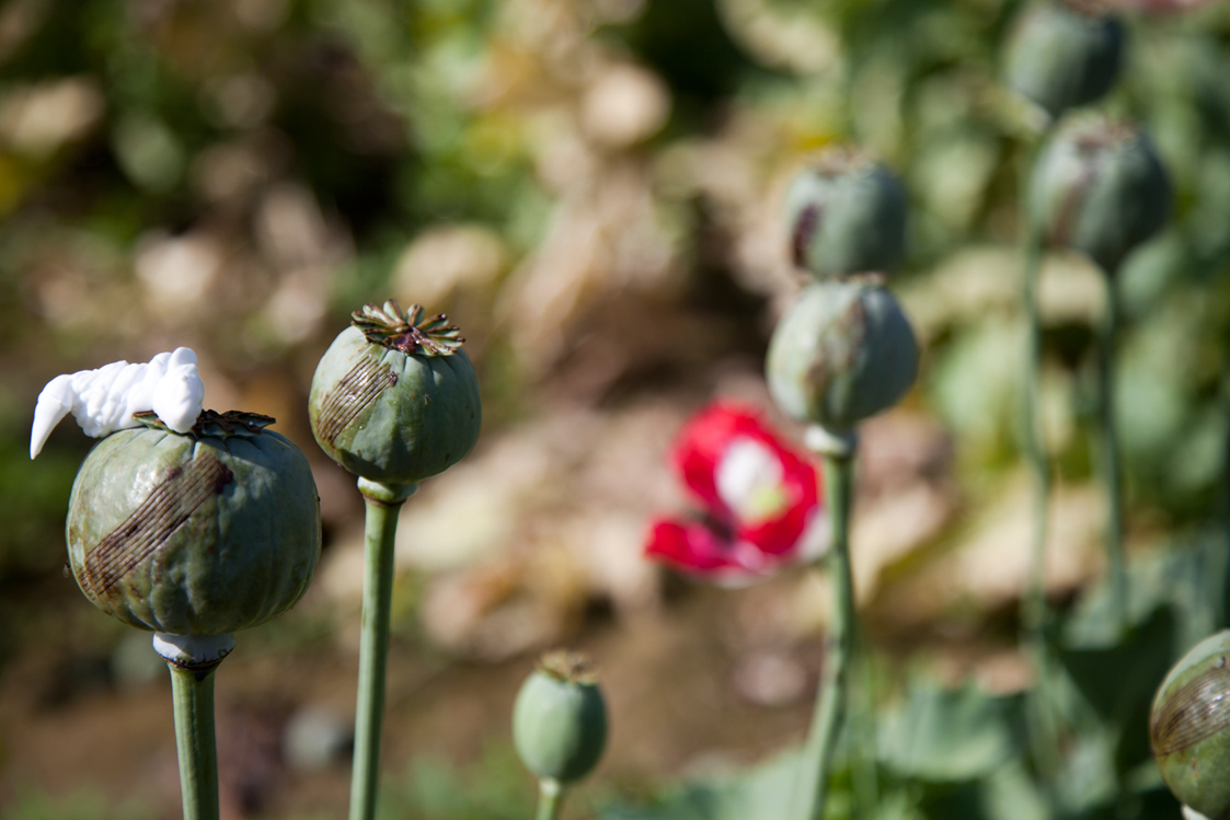 Poppy plants in Afghanistan.