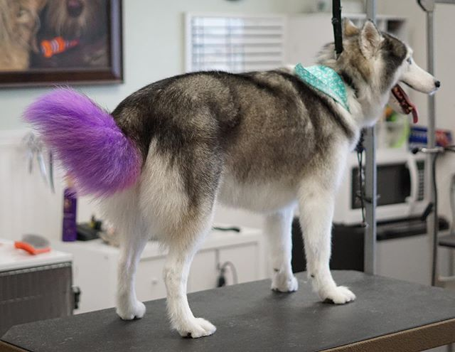 Purple hair, don't care 🤷🏼‍♀️. Kira the husky is so beautiful in purple. . . . #doggrooming #cute #photooftheday #love #dog #dogsofistagram #puppy #dogs  #pretty #loveit #pet #portrait #adorable #furbabies #dogue #doggroomer #dogsofig #sandiegodogs #sandiegogrooming #pawalley #petgrooming #sweetdogshub