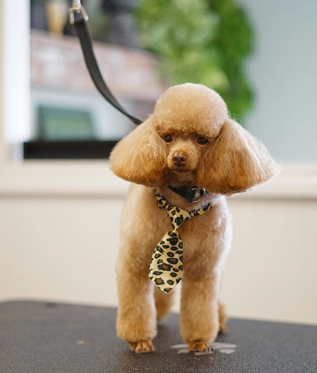 Mickey's here to get you through this Monday. Isn't he the cutest!? . . . #doggrooming #toypoodle #dogsofinstagram #cute #mondaymood #leopardprint #work