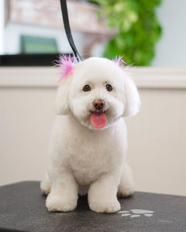 Happy Friday 👅 . . . #doggrooming #cute #photooftheday #love #dog #dogsofistagram #puppy #dogs  #pretty #loveit #pet #portrait #adorable #furbabies #dogue #doggroomer #dogsofig #sandiegodogs #sandiegogrooming #pawalley #petgrooming #sweetdogshub