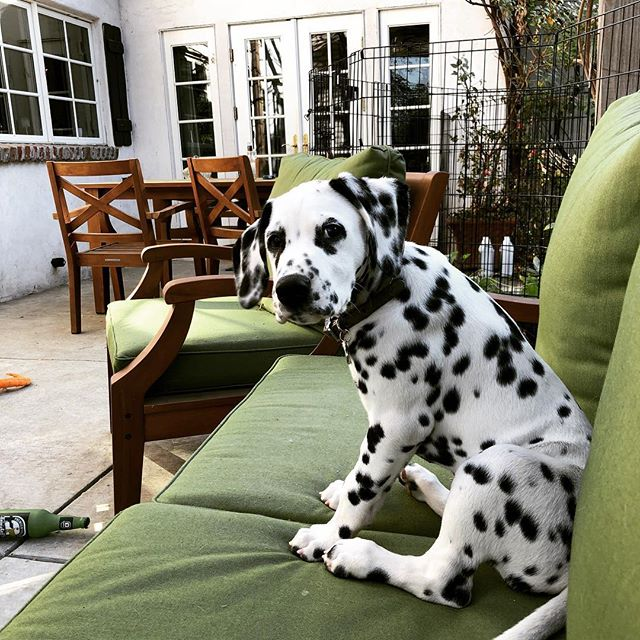 We have not been posting as frequently lately because we added a new helper to our staff. He needs lots of training! #rueandrose #rueandrosebotanicals #dal #dalmation #dalmatian #dalmationpuppy #dalmationsofinstagram #dalmatianpuppy #puppylife #trainingthepuppy #puppyhelpers #massage #massagetherapy #etsy #etsyseller #etsyshop #etsysellersofinstagram ##greenyourbeautyroutine #skincare #bodycare
