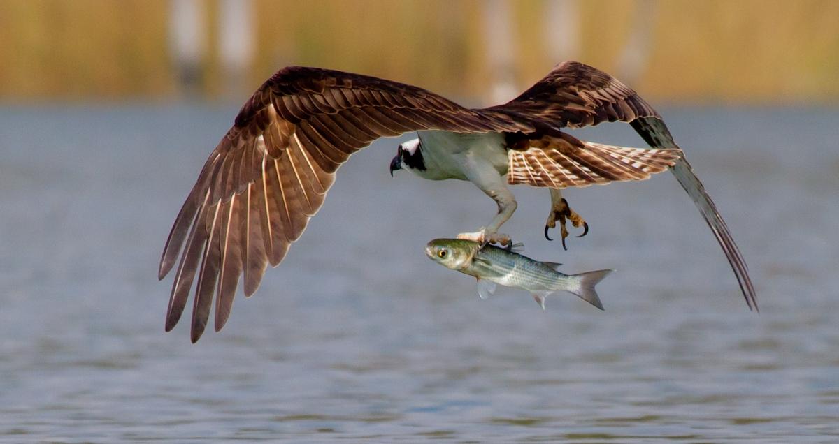 Osprey & Mullet
