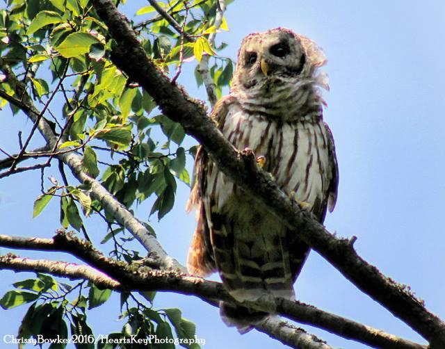 Owl Chrissy Bowker.jpg