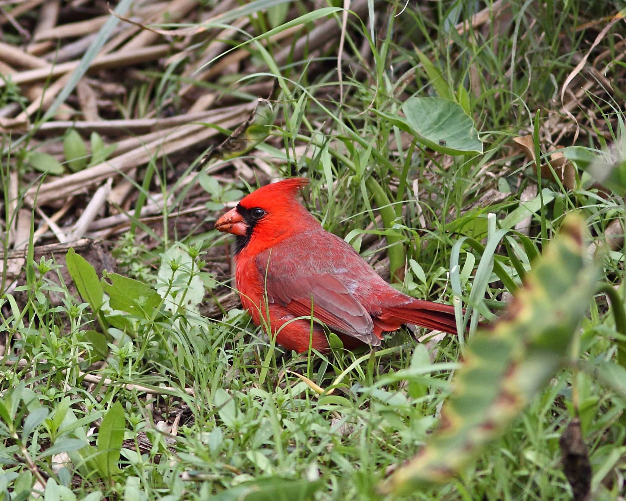 1000045 Cardinal.JPG