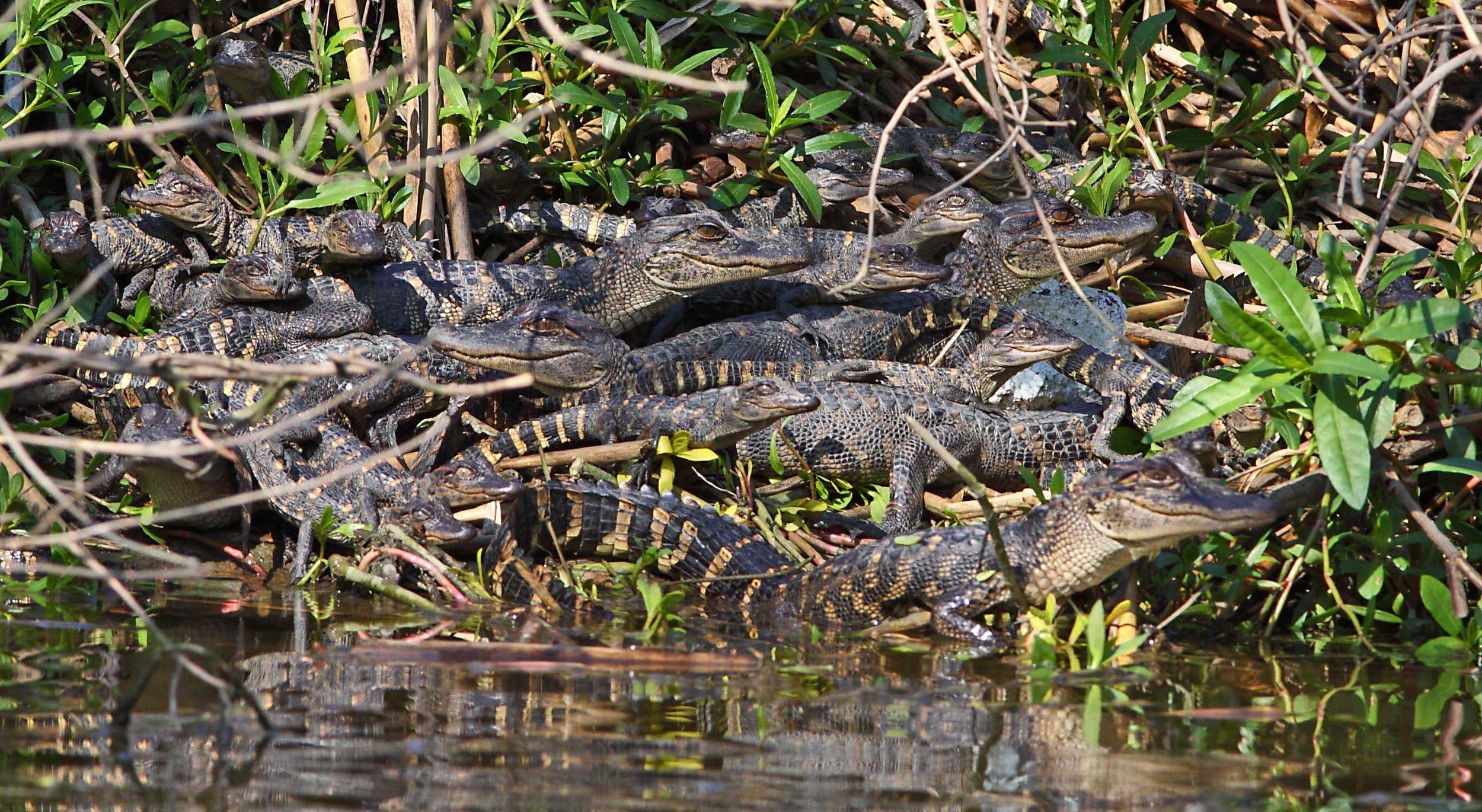 1000375 Pile O' Gators.jpg