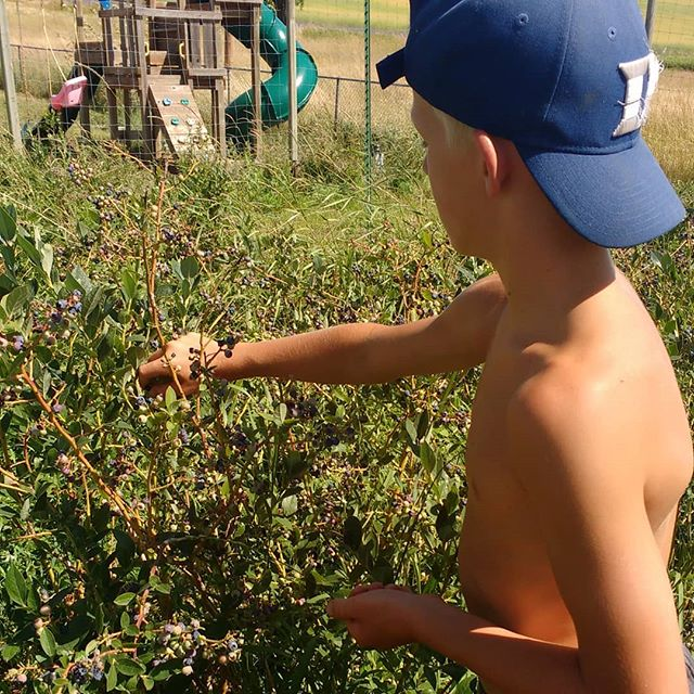 Blueberries from the backyard berry patch make a great snack for young boys or anyone. Picking a bowl for mom's blueberry pancakes is a great chore too 😋 #abundantfamilypastures #localfarm #regenerativefarming #connectwithyourfarmer #connectwithyourfood #spokanefarming #pasturefarming #knowyourfarmer #knowyourfood #spokanefood #pasturedeggs #localhens #commumityfarming #familyfarm #realfood