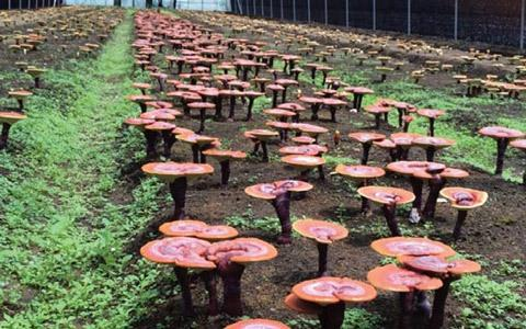 cultivation-of-reishi-480_large.jpg