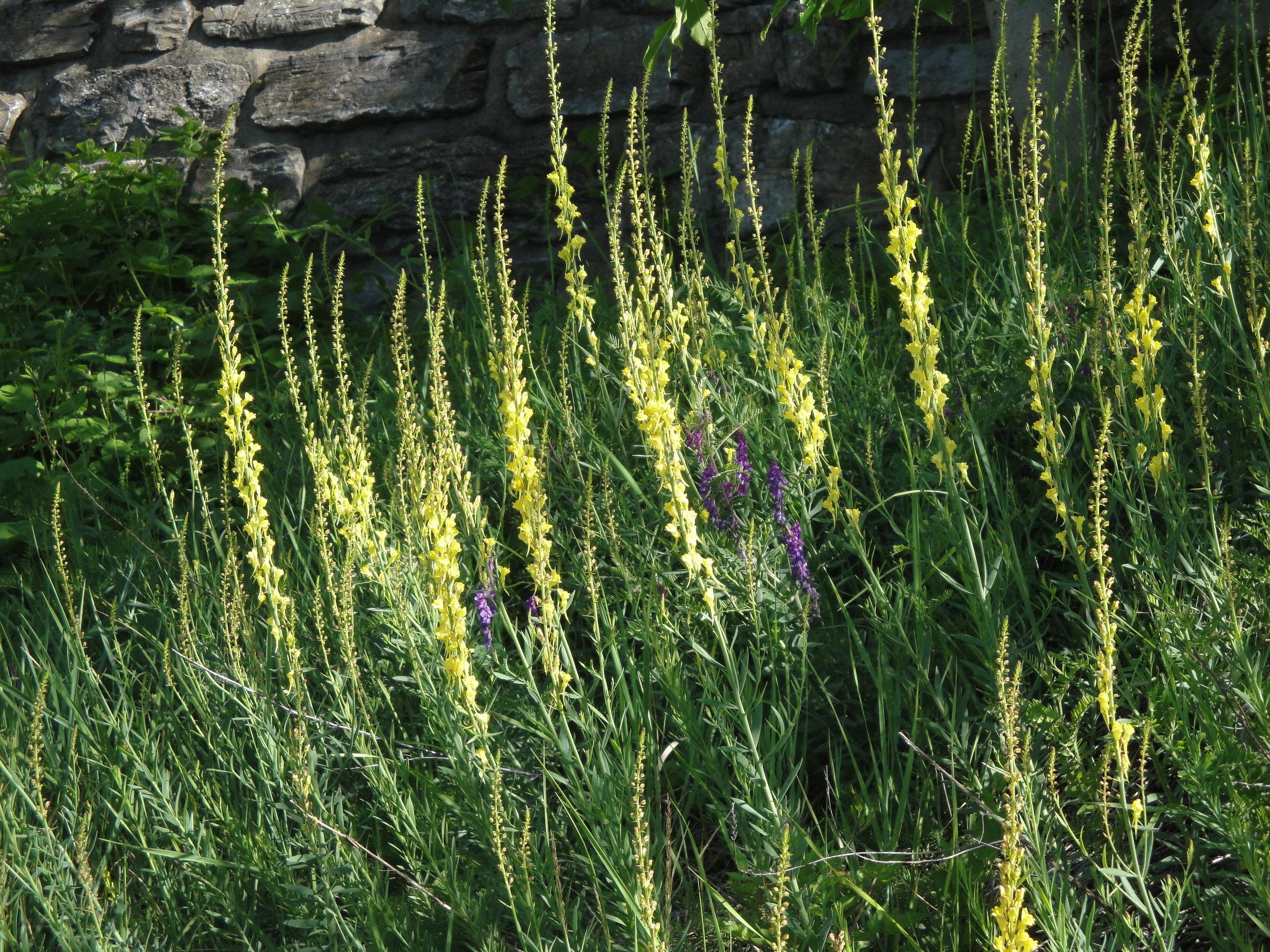 Salamandra_Blog_Wildpflanzen_05.JPG