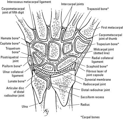for the anatomically curious - a simple view of all our carpal bones