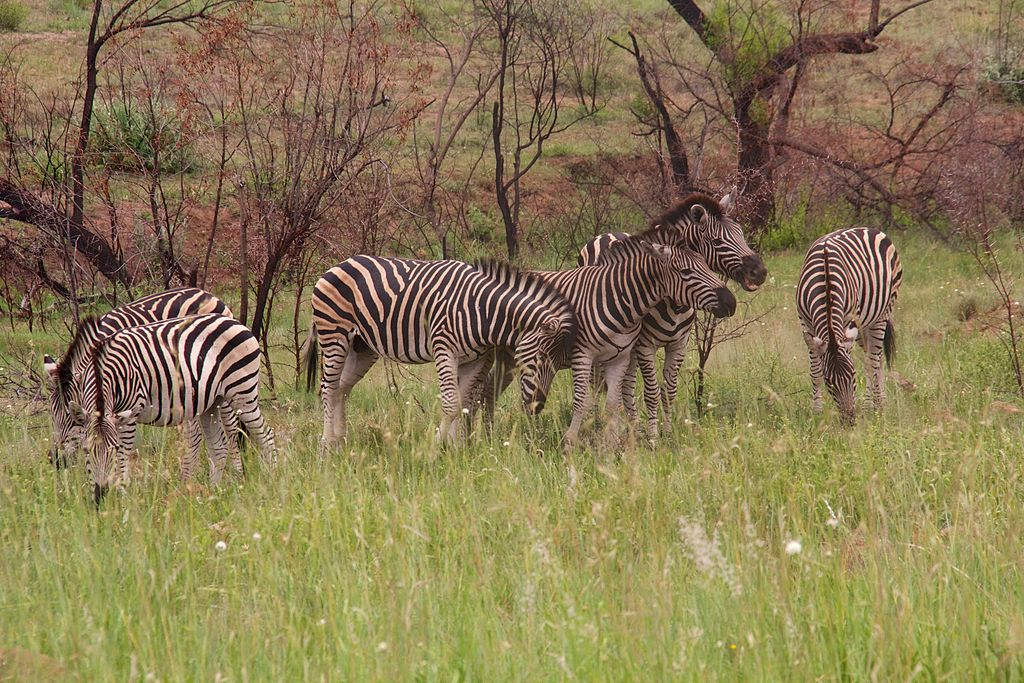 Zebra_at_Pilanesberg_National_Park_13.jpg