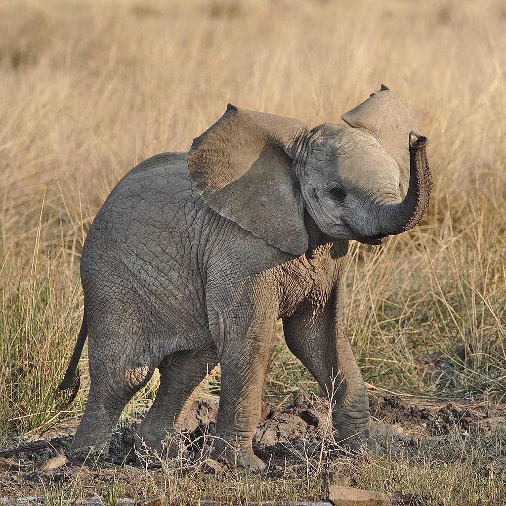 1024px-Baby_elephant_from_Pilanesberg_National_Park_last_weekend-2_(36902152463).jpg
