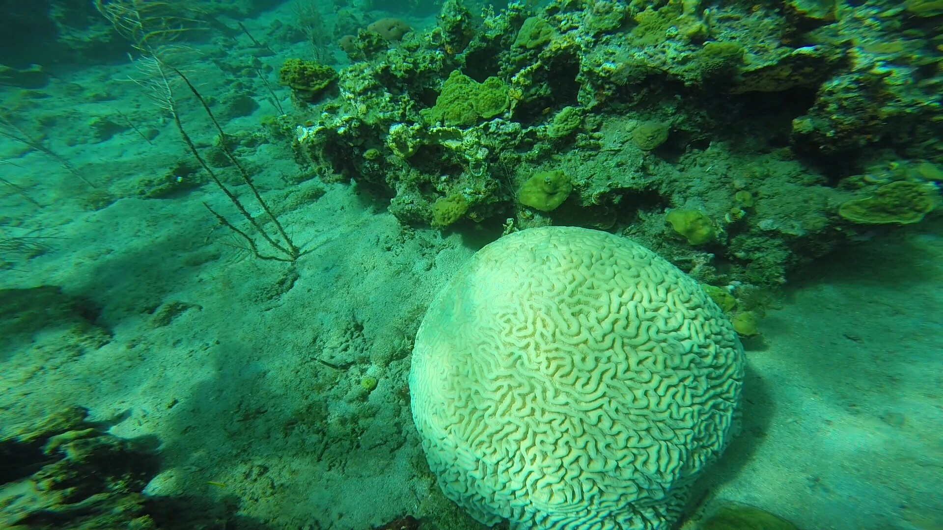 This brain coral was surveyed at a 4/5 color score just 4 weeks ago, now it is completely bleached scoring a 1/2. Photo taken by one of our divers on October 19 at Tube Reef