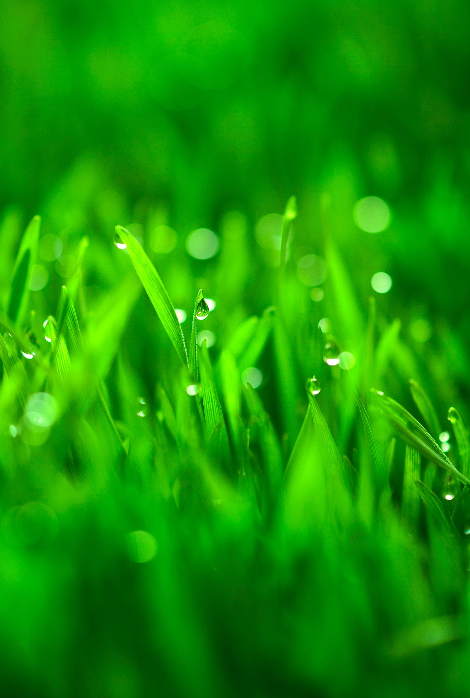 Wheat_Grass_original.jpg
