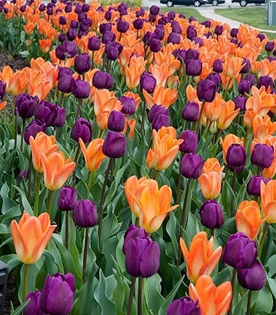 Spring will be here before we know it. Be sure to schedule your #spring clean up with #christywebber #landscapes at christywebber.com or 773-533-0477 . #christywebberlandscapes #christywebberapproved #tulips #spring #vscocam #vscophoto #vsco #springdisplay #beherenow #thehappynow #instagood #insta_chicago #mychicagopix #designbuildmaintain