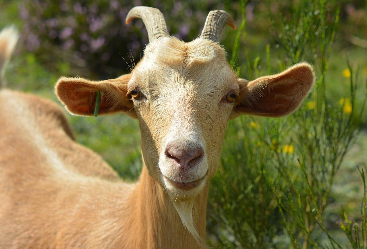 goat-2737355_1280.jpg